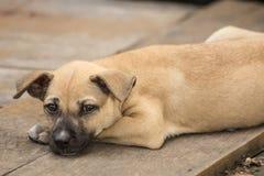 Cane tailandese del piccolo cucciolo Immagini Stock Libere da Diritti