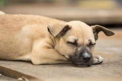 Cane tailandese del piccolo cucciolo Immagine Stock Libera da Diritti