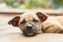 Cane tailandese del piccolo cucciolo Fotografie Stock Libere da Diritti
