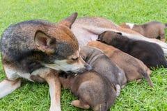 Cane tailandese felice che alimenta i suoi cuccioli Immagini Stock