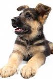 Cane tedesco di shepard Immagine Stock Libera da Diritti