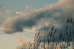 Cane thicket and clouds Royalty Free Stock Photo