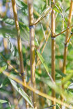Cane thicket Stock Photos