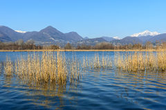 Cane thicket on lake Alserio  (North Italy). Cane thicket on lake Alserio and Mount Grigna on background (North Italy Royalty Free Stock Photos