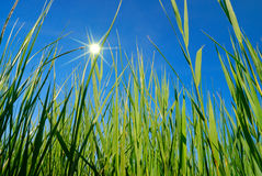 Cane thicket Royalty Free Stock Photo