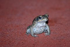 Cane Toad Royalty Free Stock Images