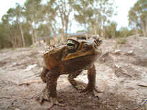 Cane toad. Closeup portrait of cane toad on a dry creek bed Royalty Free Stock Photography