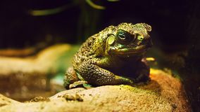 Cane Toad stock video
