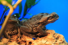 Cane toad Stock Photos