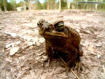 Cane Toad. A Cane Toad looks on Stock Image