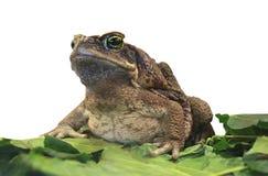 Cane Toad Imagens de Stock