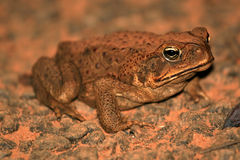 Cane Toad -  Australia Stock Photos