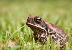 Cane toad (Bufo marinus) Royalty Free Stock Photos