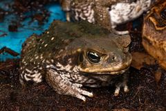 Cane Toad - Bufo marinus - also known as a giant neotropical or marine toad.  stock photography