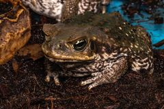 Cane Toad - Bufo marinus - also known as a giant neotropical or marine toad.  stock photo