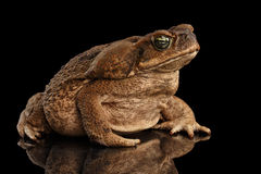 Cane Toad - Bufo marinus, giant neotropical, marine, Black. Cane Toad - Bufo marinus, giant neotropical or marine toad on Black Background royalty free stock photo