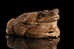Cane Toad - Bufo marinus, giant neotropical, marine, Black. Cane Toad - Bufo marinus, giant neotropical or marine toad on Black Background royalty free stock photography