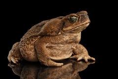 Cane Toad - Bufo marinus, jätte- neotropical som är marin-, svart Royaltyfri Foto