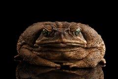 Cane Toad - Bufo Marinus, noir neotropical et marin géant de crapaud photo stock