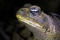 Cane Toad Royalty Free Stock Photo