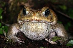 Cane toad in Costa Rica Stock Images