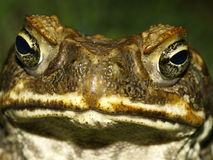Cane Toad Face. The face of a Cane Toad Stock Images