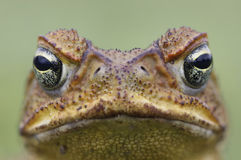 Cane toad face. Cane Toad - Bufo marinus - also known as a giant neotropical or marine toad.  Native to Central and South America but an introduced pest to Royalty Free Stock Photography