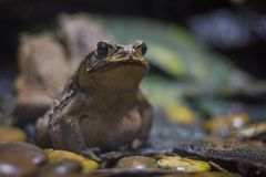 Cane toad giant neotropical toad standing in aquarium in Berlin Germany.  stock photos