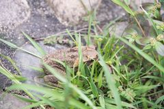 Cane Toad Hiding Royalty Free Stock Image
