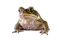Cane Toad Isolated Over White Royalty Free Stock Photos