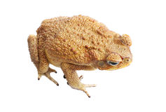 Cane toad isolated on white. Cane Toad - Bufo marinus - also known as a giant neotropical or marine toad.  Native to Central and South America but an introduced Stock Photo