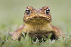 Cane toad  on white. Cane Toad - Bufo marinus - also known as a giant neotropical or marine toad.  Native to Central and South America but an introduced pest to Stock Image