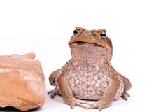 Cane Toad isolated on white background Stock Images