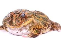 Cane Toad isolated on white background Stock Image