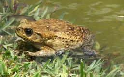 Cane Toad (marina de Rhinella) Photos libres de droits