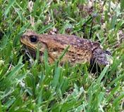 Cane Toad (marina de Rhinella) Image libre de droits