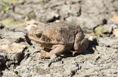 Cane toad Royalty Free Stock Image