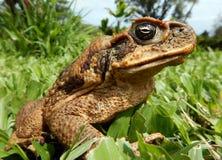 Cane Toad på den stora ön Fotografering för Bildbyråer
