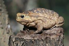 Cane Toad på en stubbe Royaltyfri Fotografi