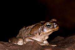 Cane toad +. The cane toad, Rhinella marina, also known as the giant neotropical toad or marine toad, is a large, terrestrial true toad native to South and royalty free stock photo