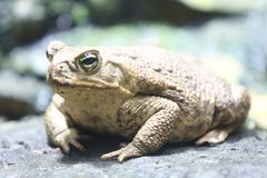 Cane toad     Rhinella marina. The cane toad Rhinella marina, also known as the giant neotropical toad or marine toad, is a large, terrestrial true toad native stock photography