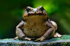 Cane toad, Rhinella marina, big frog from Costa Rica. Face portrait of large amphibian in the nature habitat. Animal in the tropic stock image