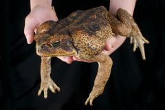 Cane toad / Rhinella marina Royalty Free Stock Photo