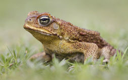 Cane toad side view. Cane Toad - Bufo marinus - also known as a giant neotropical or marine toad.  Native to Central and South America but an introduced pest to Stock Photos
