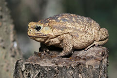 Cane Toad on a Stump Royalty Free Stock Photography