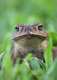 Cane toad vertical. Cane toad - Bufo marinus - also called a marine toad or Giant Neotropical Toad on grass Stock Photography