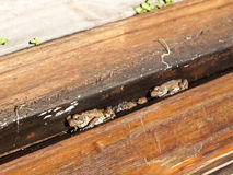Cane Toads Nestled in Timber Royalty Free Stock Photos