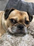Cane trasversale del carlino che mette su una fine del sofà su fotografia stock libera da diritti