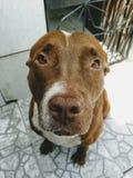 Cane triste del pitbull Fotografia Stock Libera da Diritti