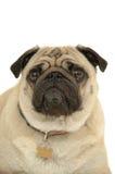 Cane triste del pug fotografie stock libere da diritti